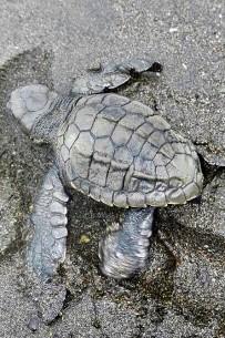Meeresschildkröten_Lora-Schildkröte_Babies_3_Foto-Micha-23-10-2017