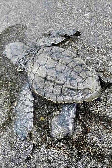 Meeresschildkröten Lora-Schildkröte Babies