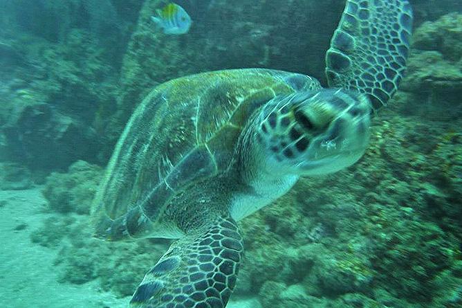 Tauchen Caño Insel Meeresschildkröte