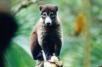 Costa Rica Nasenbär
