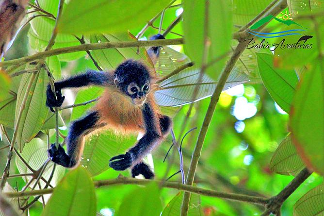 Corcovado Nationalpark – Totenkopfäffchen