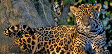 Jaguar_Foto-Micha-18-11-2017