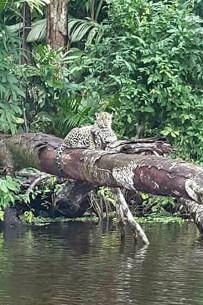 Jaguar_Lirio-Lodge_Barra-de-Pacuare_Foto-Micha-18-11-2017