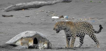Jaguar_frisst-Meeresschildkroete_Foto-Micha-18-11-2017