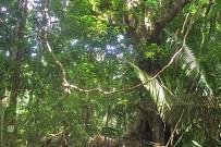 Nicoya_Cabo Blanco Naturreservat_Baumriesen Regenwald