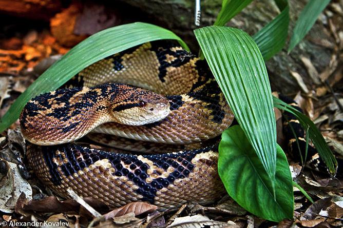 Schlangen in Costa Rica – Buschmeister