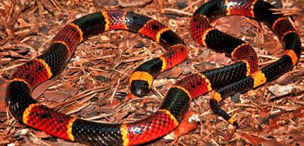Schlangen in Costa Rica_Korallenschlange_Micha_25-11-2017