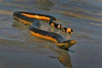 Schlangen in Costa Rica - Meerschlange