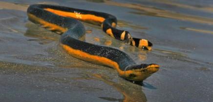 Schlangen in Costa Rica_Meerschlange_Micha_25-11.2017