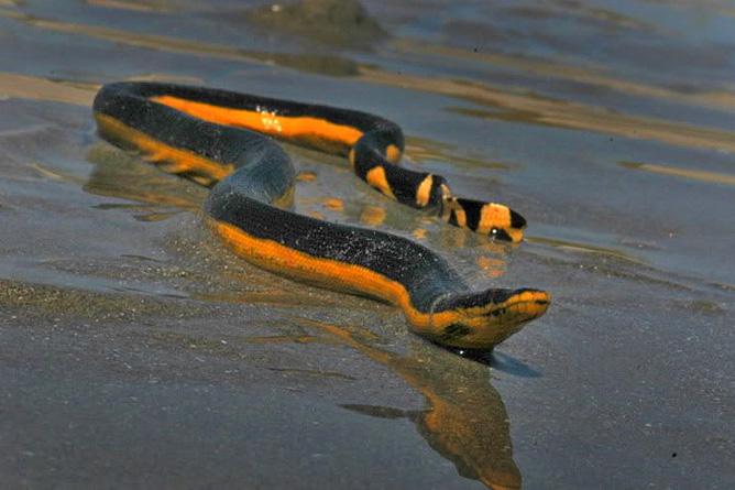Schlangen in Costa Rica – Meerschlange