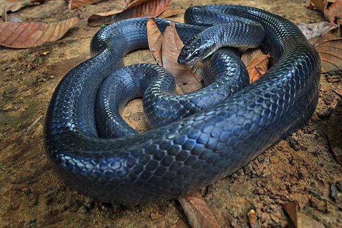 Schlangen in Costa Rica – Mussurana
