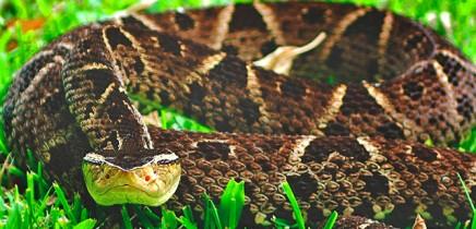 Schlangen in Costa Rica_Terciopelo-Lanzenotter-Fer-de-Lance_Michaa_25-11.2017
