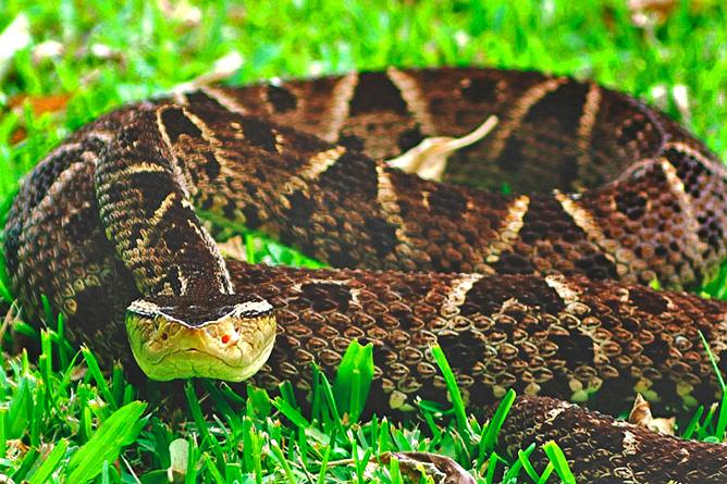 Schlangen in Costa Rica – Terciopelo, Lanzenotter, Fer de Lance