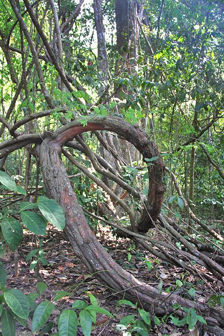 Schlangen in Costa Rica – Urwald, Unterholz