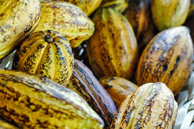Schokolade Geschichte Kakaofrucht