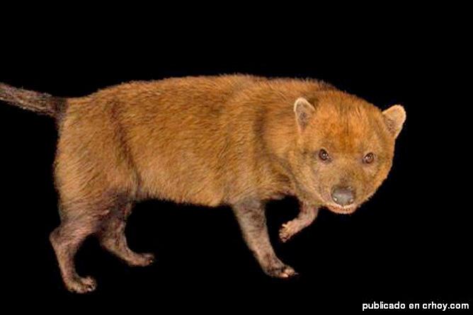 Buschhunde (Cortesia Josef F. González-Maya Diego A Gómez-Hoyos und Jan Schipper)