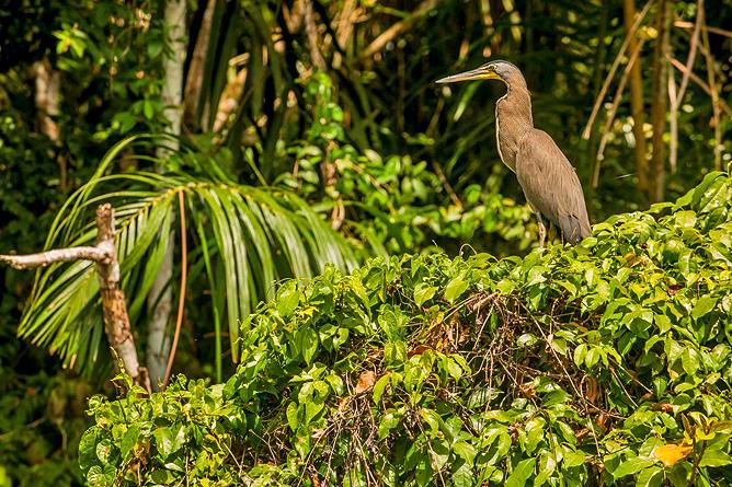 El Icaco Tortuguero Kanal Wasservogel