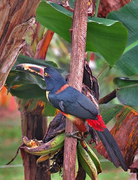 Miradas Arenal Garten Vogelbeobachtung Tucancillo