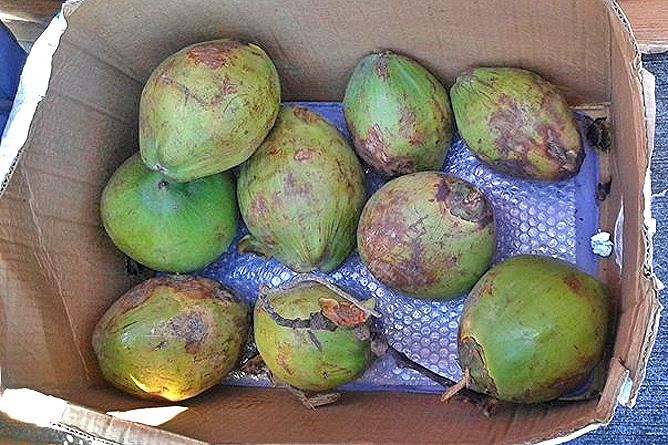 Pipas Trinkkokosnüsse in Costa Rica