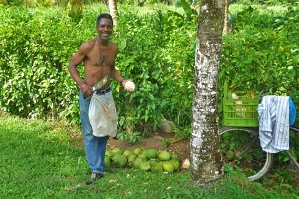 Pipas Trinkkokosnüsse in Costa-Rica Ernte