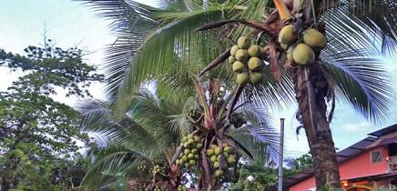 Pipas_Trinkkokosnuesse in Costa Rica_hohe Palme_Christine 12-2017