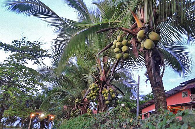 Pipas Trinkkokosnüsse in Costa Rica hohe Palme