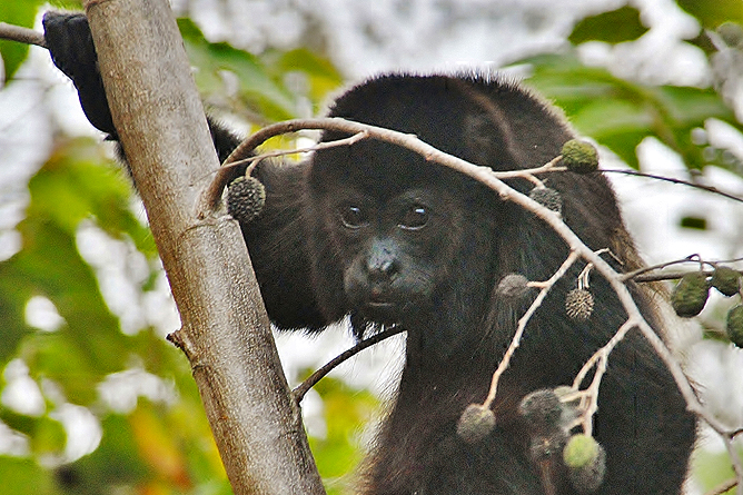 Affen Brüllaffe