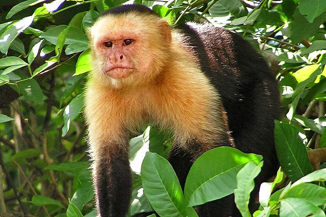 Affen Weisskopf Kapuziner Affe