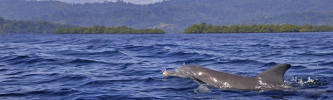 Bocas del Toro Delfine