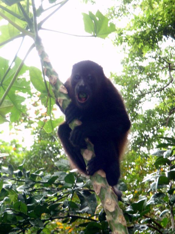 Howler Monkey Brüllaffe