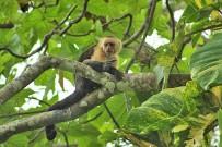 Howler Monkey_Kapuzineraffe_04-2018