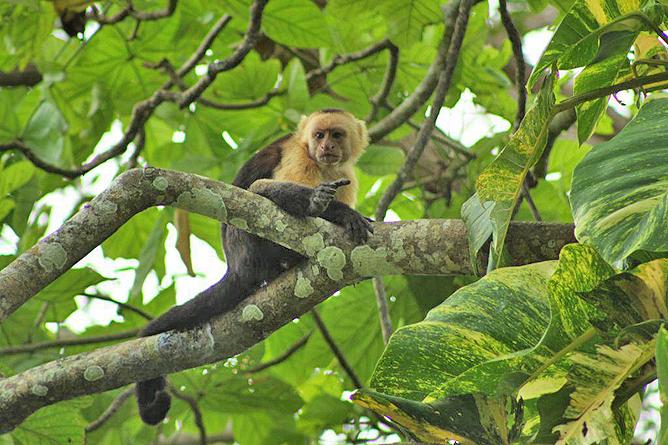 Howler Monkey Kapuzineraffe