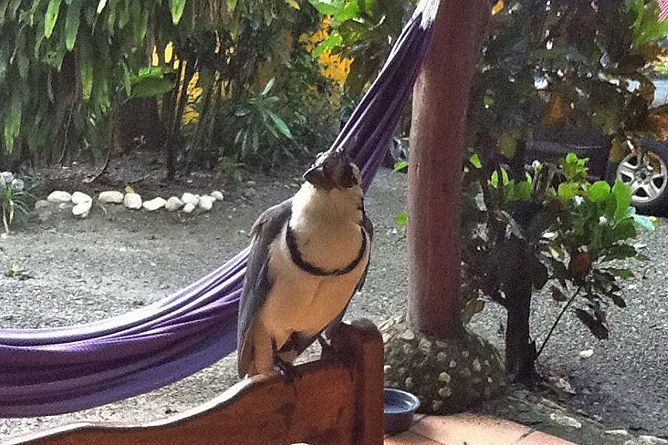 Howler Monkey Vogelbeobachtung