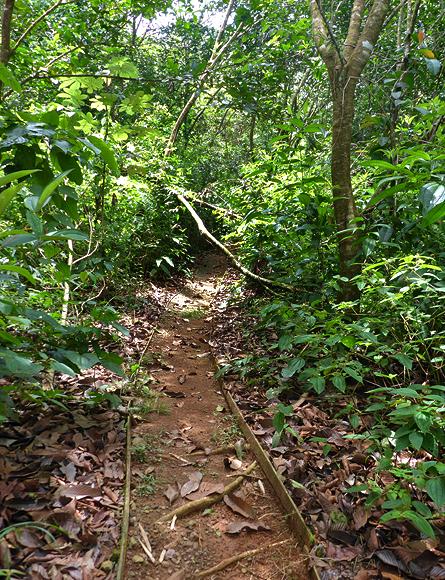 Kussmundpflanze Vorkommen Regenwald Macaw Lodge