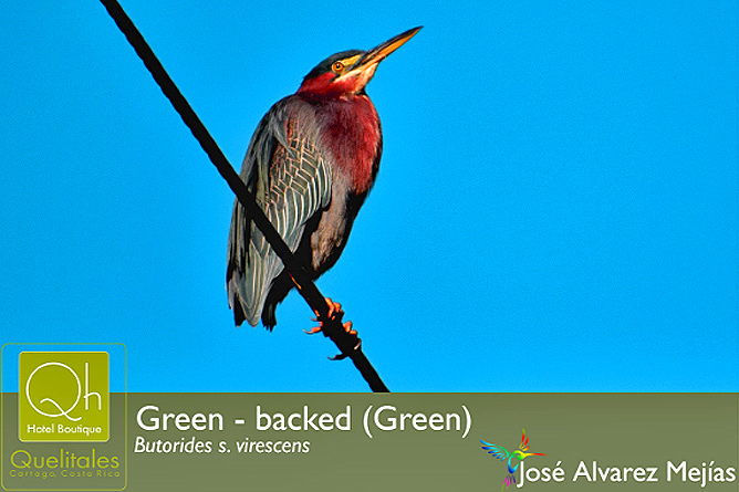 Hotel Quelitales – Birding: Vogelbeobachtung in Costa Rica