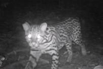 Selva Bananito Wildkatzen Costa Rica