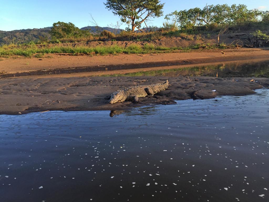 Amerikanisches Krokodil – Tarcoles | Costa Rica