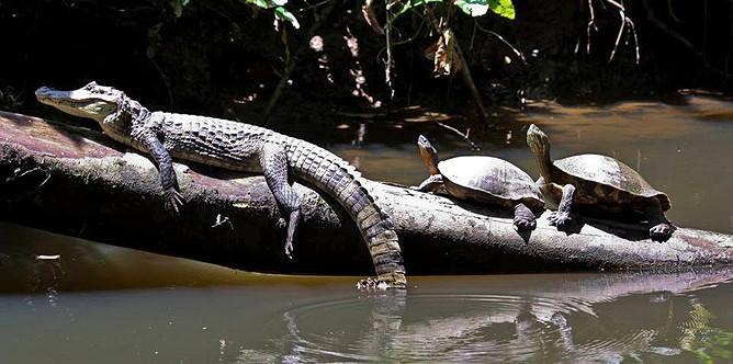Barra Pacuare_Krokodil und Flussschildkroete_micha_04-02-2018
