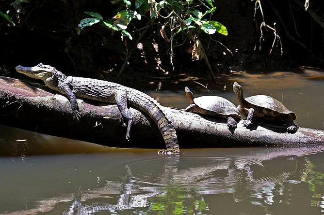 Barra Pacuare Krokodil und Flussschildkröte