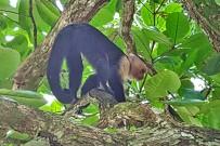 Cahuita_Nationalpark Cahuita_Weisskopf Kapuzineraffe_Micha 8-2017