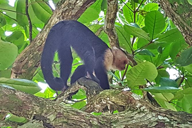 Cahuita Nationalpark Cahuita Weisskopf Kapuzineraffe