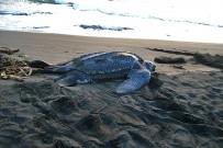 Cahuita_Nationalpark_Baula Meeresschildkröte_Micha 8-2017