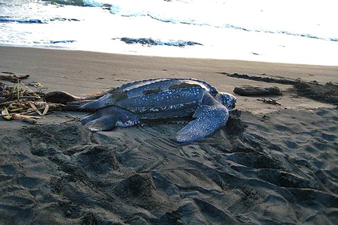 Cahuita Nationalpark Baula Meeresschildkröte