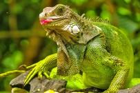 Cahuita_Nationalpark_Grüner Leguan_Micha 8-2017