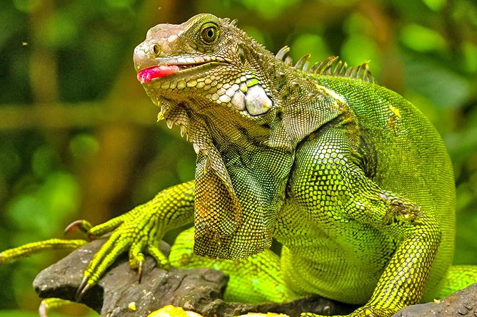 Cahuita Nationalpark Grüner Leguan