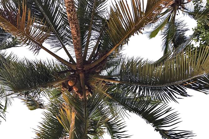 Cahuita Nationalpark Kokospalme
