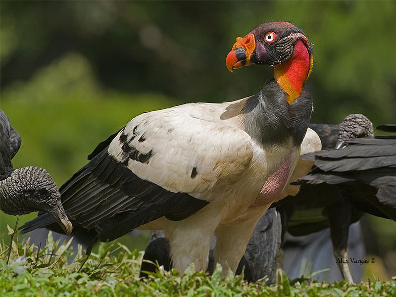 Geier – King Vulture – Carara | Costa Rica