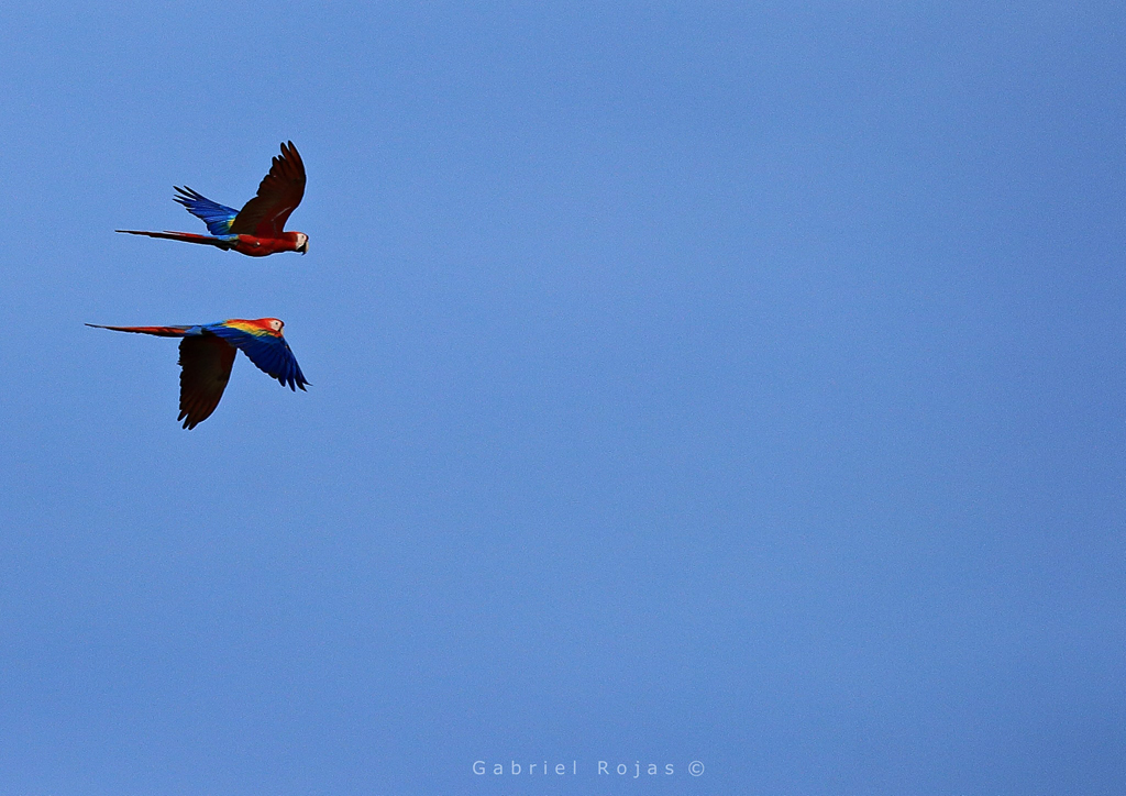 Nationalpark Carara – rote Aras | Costa Rica