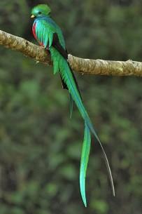 Resplendent Quetzal, male (Pharomachrus mocinno) Cierro La Muerte, Costa Rica