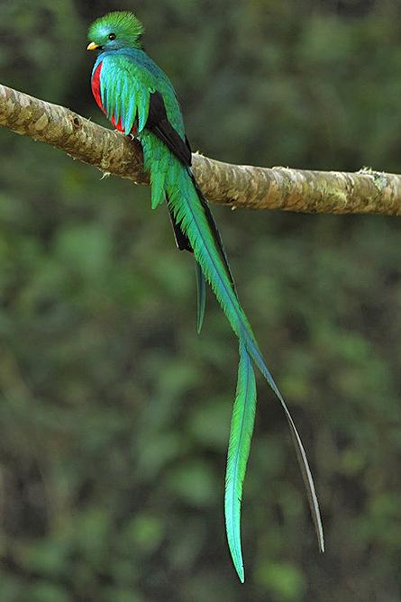 Resplendent Quetzal, männlich (Pharomachrus mocinno) Cierro La Muerte, Costa Rica